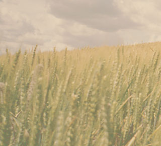 Slide Show Image of Wheat Field